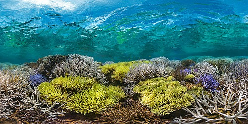 Corals are a refuge for many other species
