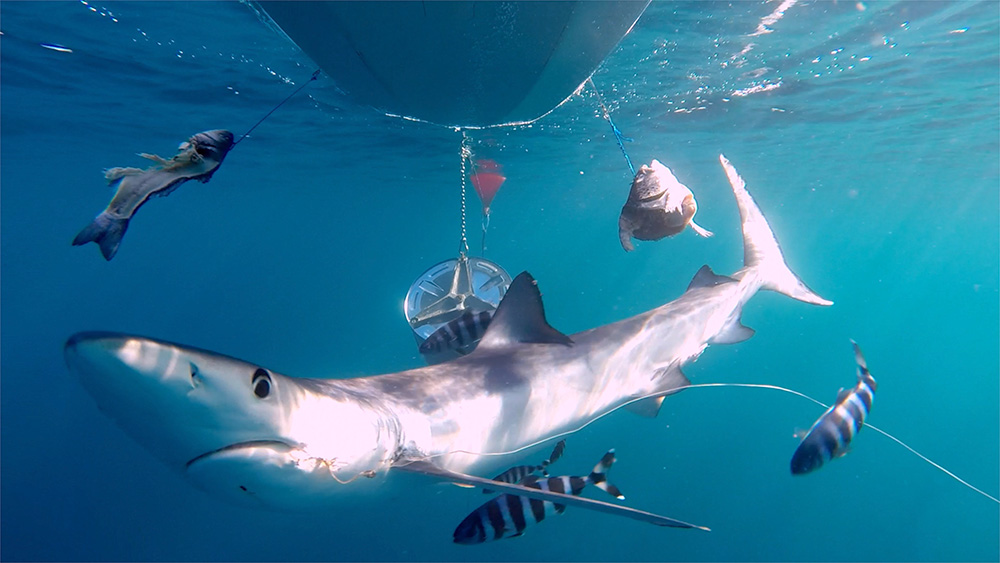 Remote video cameras show sharks injured by hooks