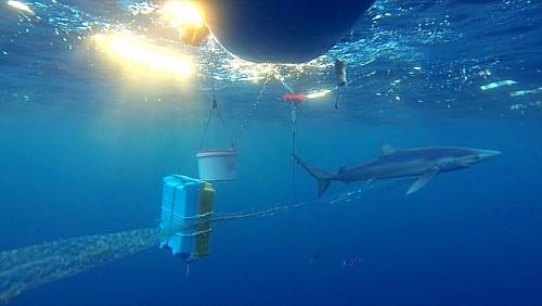Marilles Fundation - El 50% de los tiburones del Mediterráneo viven con anzuelos clavados