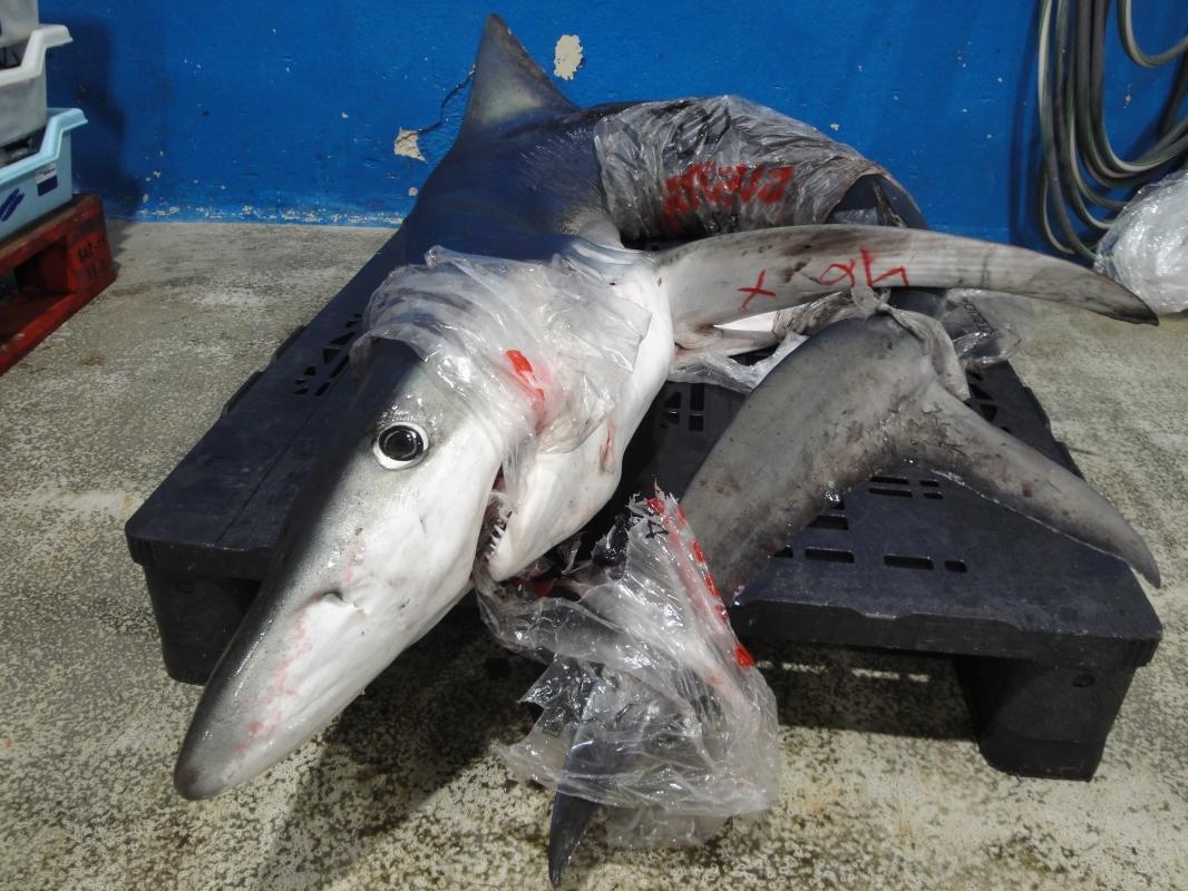 Sharks and rays that pass through Palma fish market